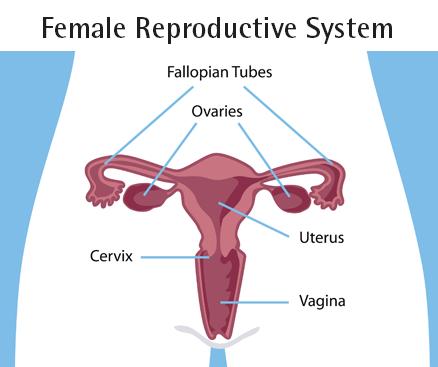 Anatomi Reproduksi Wanita (Parkway Cancer Centre, 2018)